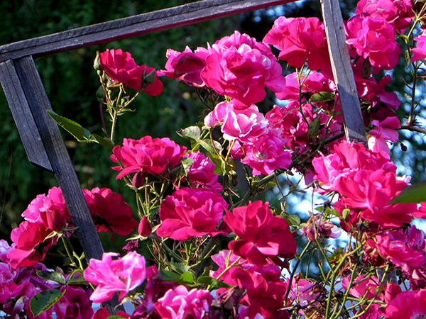 Multi colored climbing roses on rustic arbor
