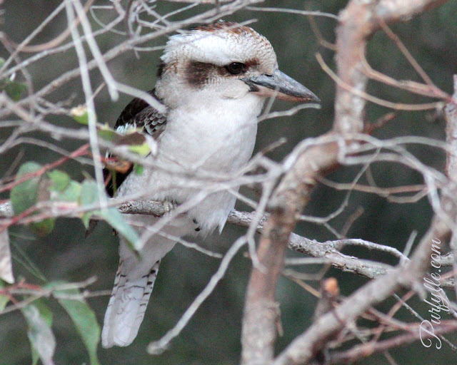 laughing kookaburra blending into his surroundings despite his bright metallic blue wings