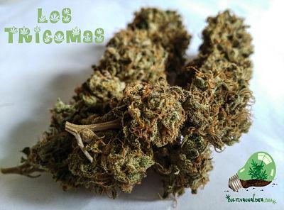 Los tricomas de la marihuana
