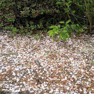 Pétalos de flores de cerezo en el suelo