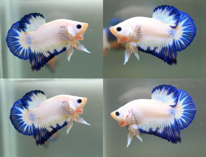 Jenis Ikan Cupang Hias dan Aduan Foto Terbaru - Budidaya ...