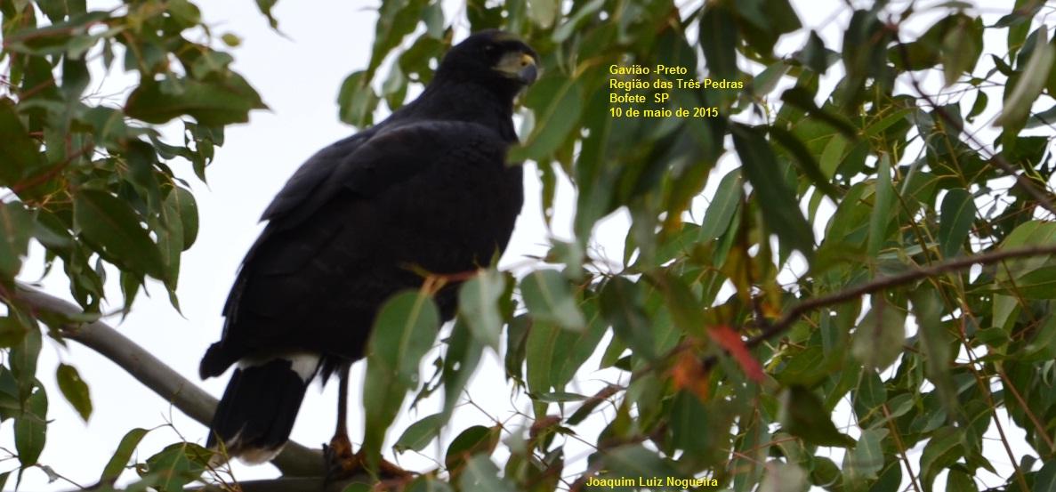 aves de botucatu e outras regiões gavião preto