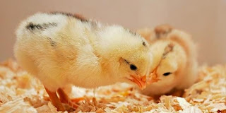Apa yang Dimaksud dengan Hangat Hangat Tahi Ayam?