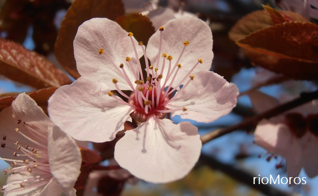 Prunus cerasifera var. pisardii Ciruelo rojo