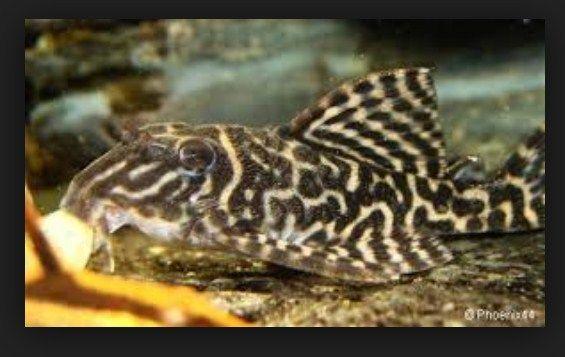 Infi Seputar Ikan Rio Negro Plecostomus yang Unik dan Cantik