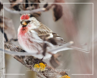 Male Redpoll. © Copyright, Shelley Banks, all rights reserved