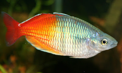 Boeseman's rainbowfish