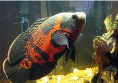 Jenis Ikan Hias Air Tawar  Aquarium Oskar