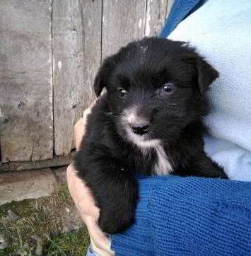 cachorra cruce border collie