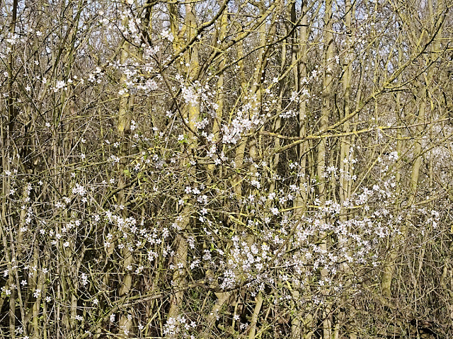 Plum blossom is scatted among the stems of hazel bushes