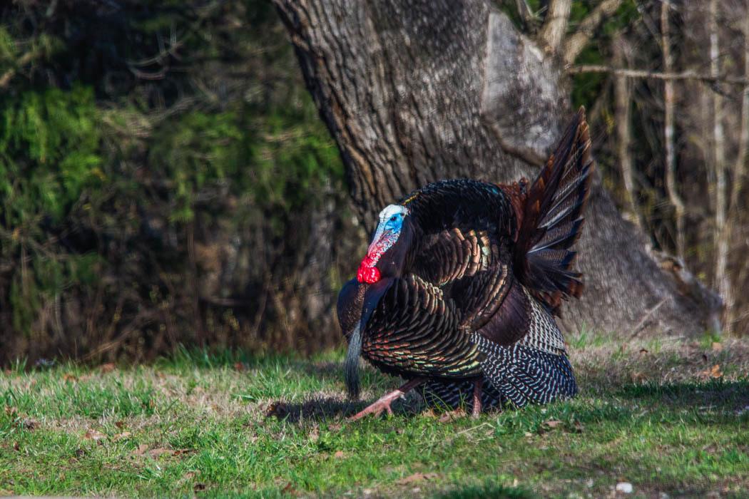 wild turkey gobbler displaying