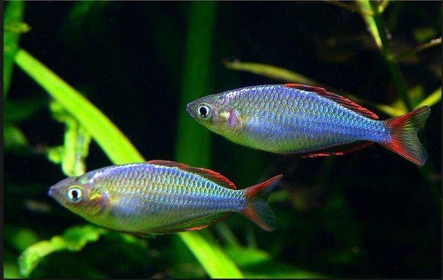 Jenis Ikan Hias Air Tawar Untuk Aquascape 29