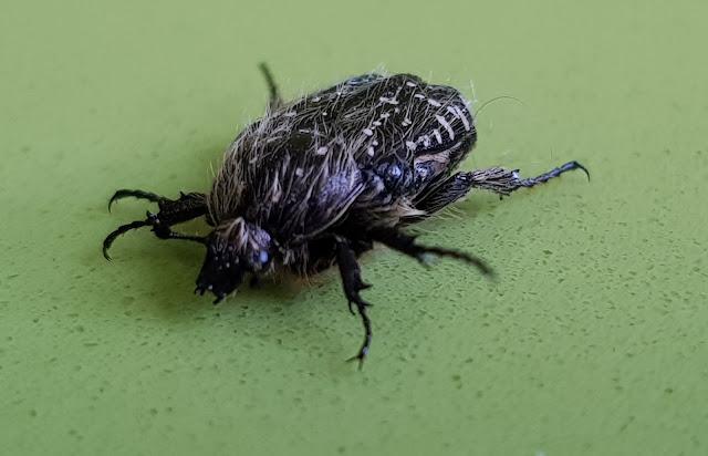 Oxythyrea funesta escarabajo del sudario coleóptero