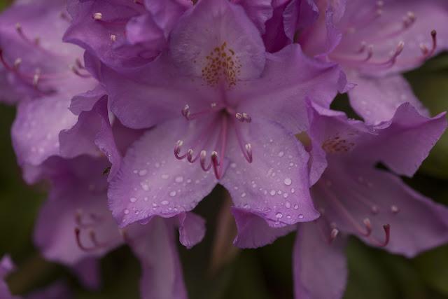Risholmen, Rododendron