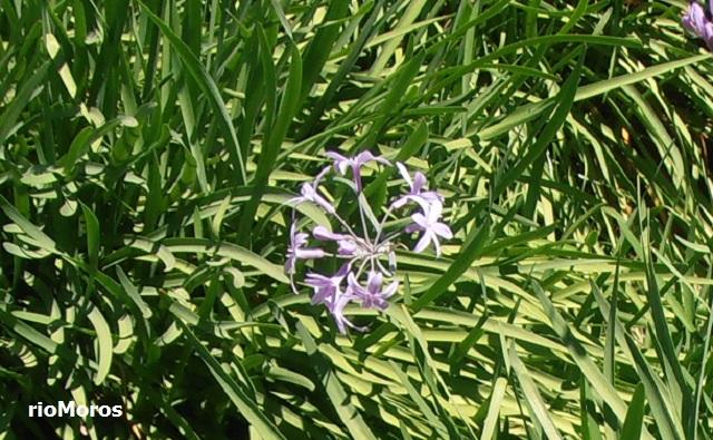 TULBAGIA Tulbaghia violacea