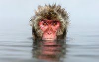 Inteligente macaco japonés