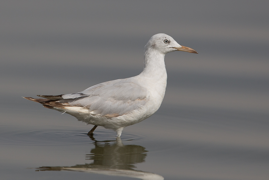 Slender-billed Gull