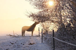 Black horse standing in a snowy field eating leaves from a tree