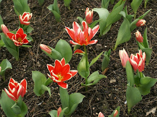 Tulipe forsteriana Pirand - Tulipa Pirand - Tulipe Pirand