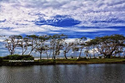 Deretan pohon Ketapang (Terminalia catapa) di tepi pantai