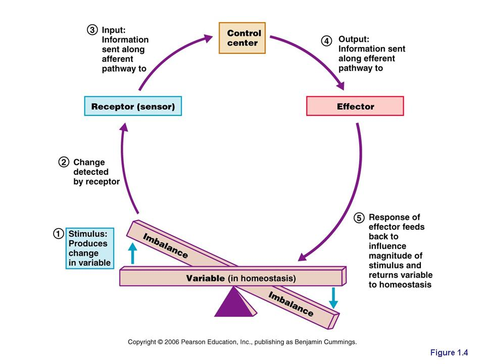 what does the control center do in homeostasis