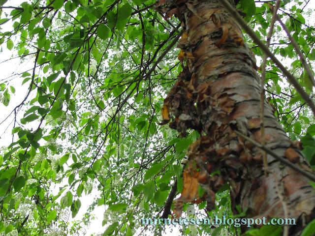 Дерево с облезающей корой - как называется?