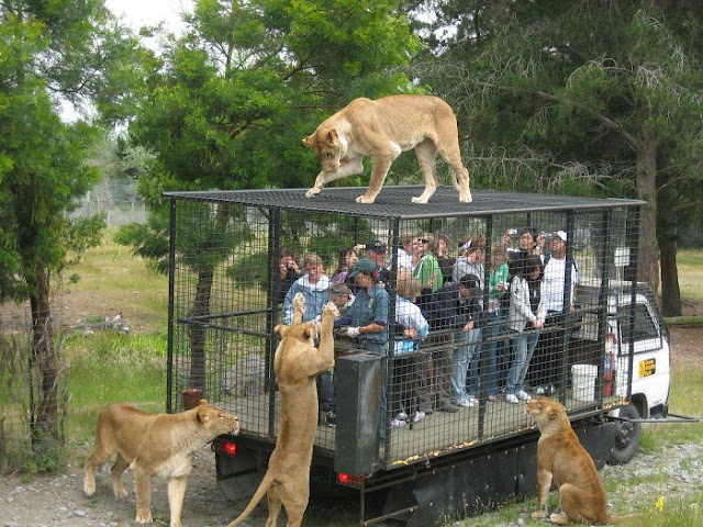 Funny Kruger National Safari Park Lions Image Photo Tourist Food