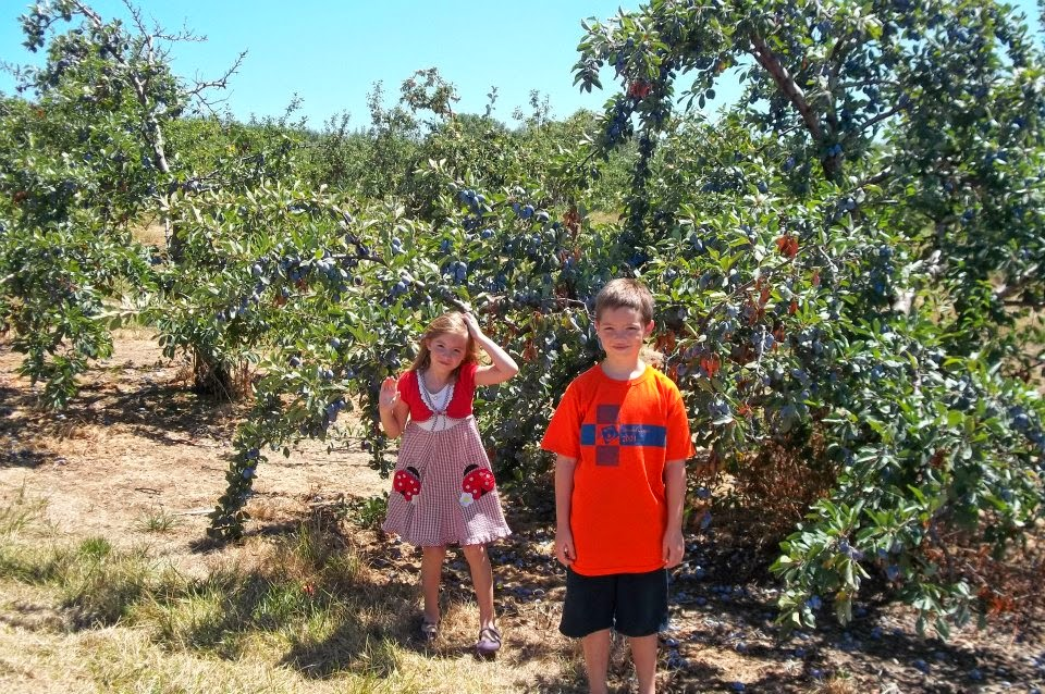 Picking Plums at You Pick, Anderson Orchard in Mooresville on a Homeschool Field Trip.