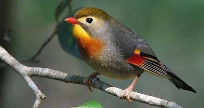 List/Daftar Harga Terbaru Burung Robin Saat Ini Di Tahun 2018 Terlengkap