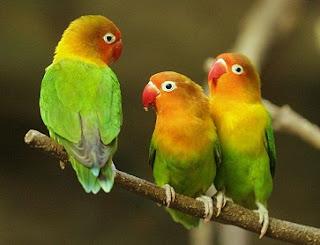 cara merawat lovebird biar cepat gacor,cara merawat lovebird buat lomba,cara merawat lovebird anakan,cara merawat lovebird lomba,cara merawat lovebird juara,cara merawat lovebird bertelur,
