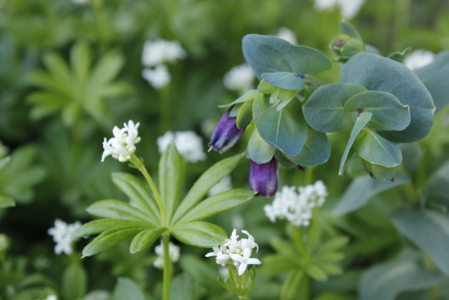 Purple honeywort growing through white flowers of Sweet Woodruff