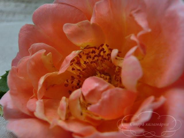 роза мари кюри, розы, английские розы, остинки, розы Дэвида Остина, розарии