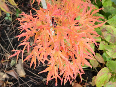 Acer palmatum Kagiri nishiki Japanese maple autumn foliage Toronto Botanical Garden by garden muses-not another Toronto gardening blog
