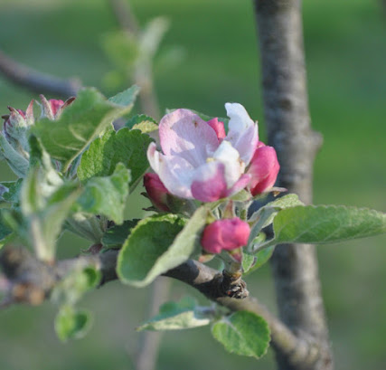 The same pink and white apple blossoms
