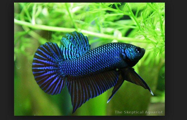 Merawat Ikan Cupang