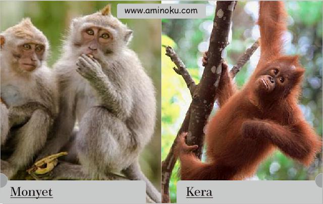 perbedaan antara monyet dan kera
