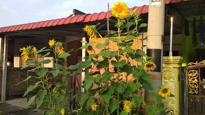'Asal Usul' Kuaci dari Bunga Matahari Rupanya!