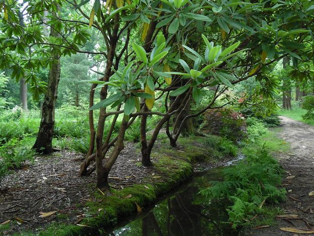 woodland garden, leśny ogród, stare różaneczniki