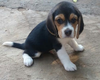 beagle puppies for sale in bangalore
