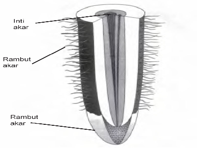 Bagian-Bagian Akar Tumbuhan dan Fungsinya