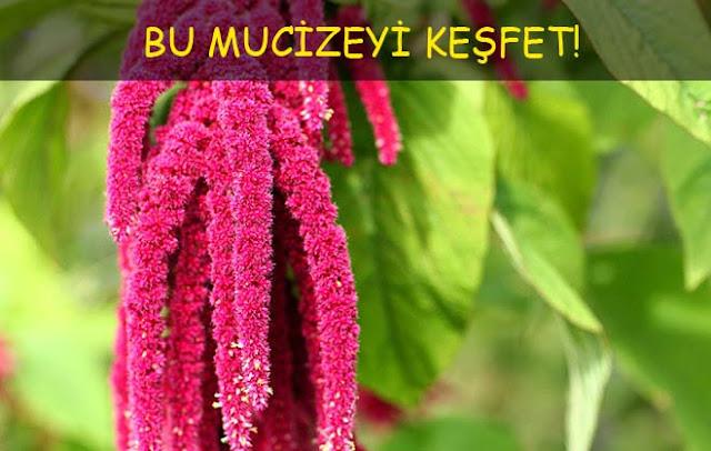amarant bitkisinin faydaları zararları