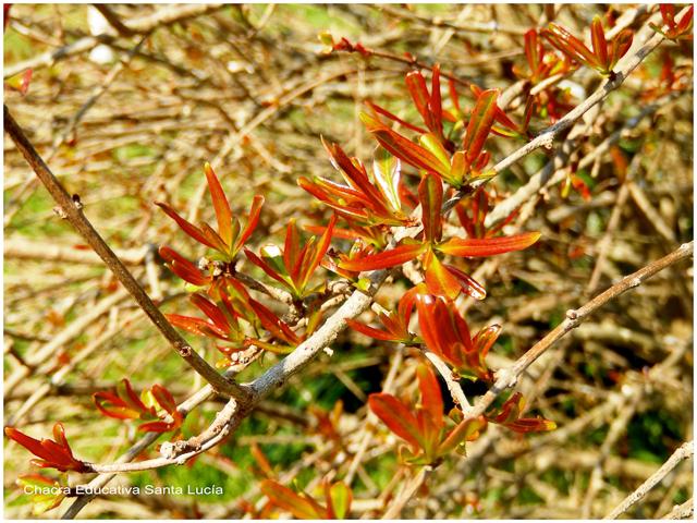 Granado de jardín - Chacra Educativa Santa Lucía