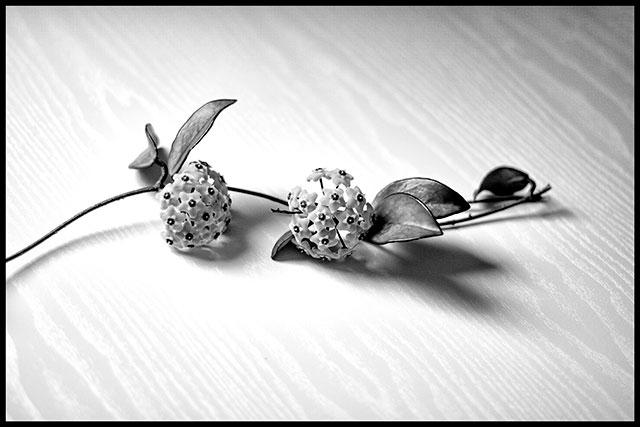 Rama con dos flores de clepia sobre una mesas