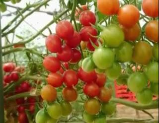 jenis jenis tomat lengkap