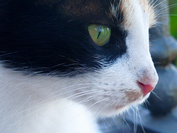 multi-colored cat with beautiful green eyes