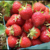 How Strawberries Help Protect Our Body From Various Diseases
