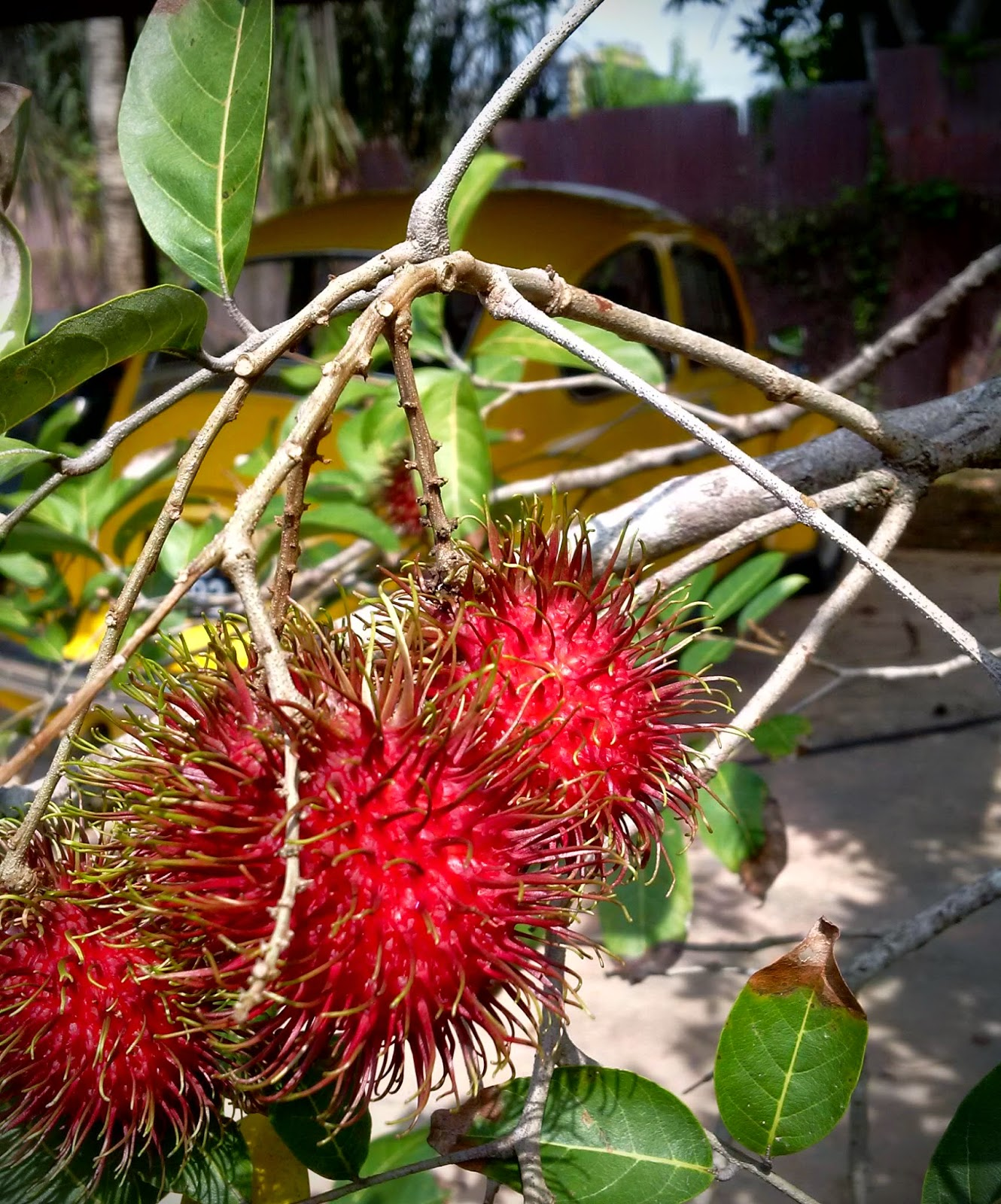 rambutan fruit, hairy fruit, rambutan malaysia, rambutan taste, rambutan benefits, rambutan recipes, gardening, food,