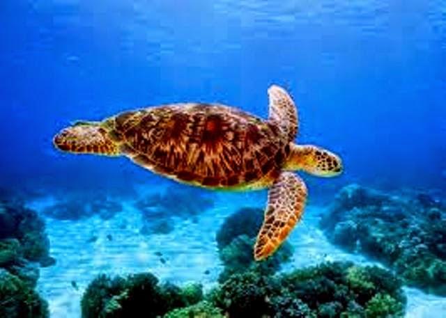 tubbataha-reefs-marine-turtle-photo