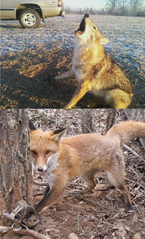 Ban Fur Trapping On Public Lands in the United States