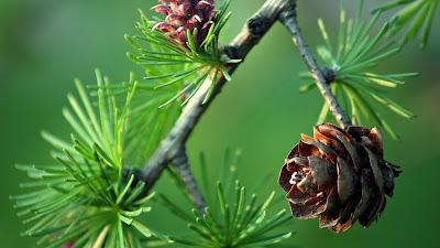 beautiful-pineconeflower-walls-pics